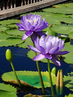 Flowers photography beautiful purple 16 Ideas for 2019 Water Flowers, Flowers Nature, Exotic Flowers, Purple Flowers, Beautiful Flowers, Lotus Flowers, Pond Plants, Water Plants, Lily Pond