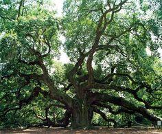 1500 year old Angel Oak Tree