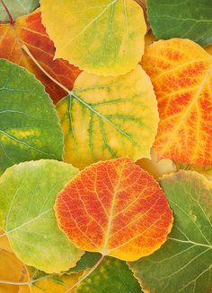 aspen leaves | aspen, leaves, leaf, detail, telluride, colorado, photo