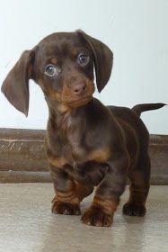 Little cute brown dachshund puppy standing on floor
