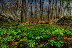 Virginia has some spectacular scenery ~ Mayapples are piercing the leaf-litter and spreading their umbrellas over the forest floor in the higher elevations of the Blue Ridge Mountains of Virginia.