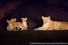 We saw these three cubs and lioness on the road during a night drive at Biyamiti Camp with guide Bridgeman Zulu, who was excellent. The lions were lying on the warm road, but the cubs were very skittish, and Bridgeman reckoned that they were still very young, and so unaccustomed to vehicles.