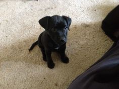 Patterdale Terrier 2 Puppies 1 boy 1 girl 300 each | Wetherby, West ...