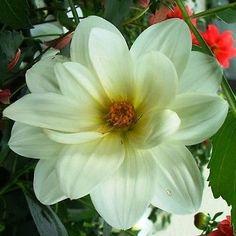 50+ Dahlia Mignon White Flower Seeds , Under The Sun Seeds