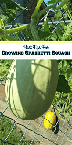 Best Tips For Growing Spaghetti Squash - Reuse Grow Enjoy If you are wanting to grow your own spaghe Squash Companion Plants, Companion Planting, Pumpkin Squash, Zucchini Squash, Growing Spaghetti Squash, Container Gardening, Gardening Tips, Squash Seeds, Growing Lettuce