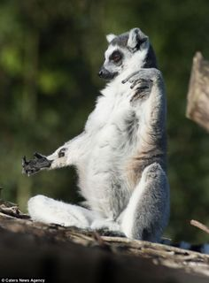 Spaced: The lemur seemed happy to continue relaxing while the rest of the plot scurried around.