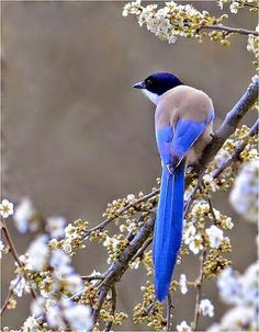Modrowronka kalifornijska.Eng. Western scrub jay.(Aphelocoma californica) – gatunek średniego ptaka z rodzinykrukowatych(Corvidae). Występuje w Stanach ZjednoczonychiMeksyku. Długość ciała wynosi 27-31 cm, masa 75-80 g. Rozpiętość skrzydeł to około 38 cm (15 cali).  W większości zasiedla lasy jałowcowo-sosnowe, roślinność rosnącą przy rzece lub strumieniu oraz górskie zarośla. Pożywieniem jej są żołędzie, nasiona słonecznika, orzechy, małe jaszczurki, owady, owoce, a także ptasie jaja i…