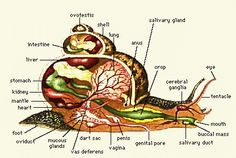 biology of snails-I find this interesting.
