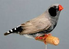 Related image Zebra Finch, Exotic Birds, Zebras, Bird Feathers, Beautiful Birds, Pet Birds, Animals And Pets, Finches, Parrots