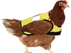 Work wear for chickens.  Safety First!
