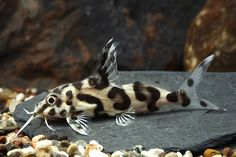 <3 <3--HE LOOKS LIKE A LEOPARD! LOVE LOVE--.<3 <3...Hybred Syno Cat.-- fresh water fish-- <3 <3