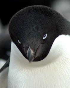 Pingouin en Terre Adélie