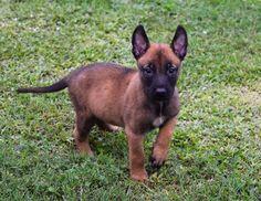 www.wolfsbaneK9.com Belgian Malinois Puppy Standard Color Puppy