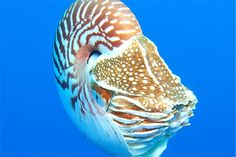 "HowStuffWorks ""Mysterious Marine Animal Pictures""~Nautilus"