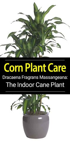 Dracaena Massangeana Corn Plant - House Plants - ideas of House Plants - Dracaena fragrans known as corn plant grown in many forms usually multiple plants of staggered heights hardy indoors when acclimated. Learn more on it's care