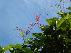 coral vine with bees