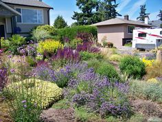 Front yard: contemporary west coast drought tolerant garden with Hidcote Lavender (English) as one of the feature plants.