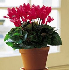 Cyclamen skgs Sowbread Seeds Flowering Plants by Greenworld1