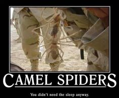 Two Camel Spiders clinging to one another. I don't think they are actually on the soldier's pants. The two are pretty darn huge!