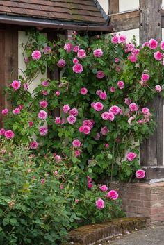 Gertrude-Jekyll---David-Austin-English-Rose