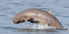 Irrawaddy Dolphin  Only found in the Bay of Bengal and Southeast Asia, this dolphin is closely related to the killer whale…