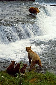 Salmon Run - Brown Bears