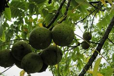 How to harvest, process and store black walnuts