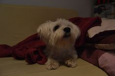 Max #mydog #maltese #sweet #dog