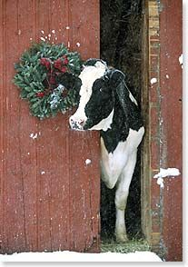 One of the things we had on the farm is dairy cattle and more specifically Holsteins. I especially loved when the baby calves were born. - Holstein Cow Poking Head Out Of Red Barn By Christmas Wreath - Kimballstock Noel Christmas, Christmas Animals, Country Christmas, Winter Christmas, Christmas Wreaths, Merry Christmas Pics, Christmas Decor, Christmas Donkey, Christmas Postcards