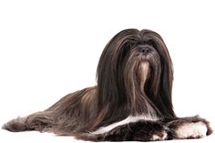 Lhasa Apso Dog Breed Information Pet Dogs, Dogs And Puppies, Dog Cat, Akc Breeds, Crazy Dog Lady, Lhasa Apso, Dog Portraits, Adorable Animals, Dog Love