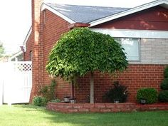 Weeping mulberry (chaparral) - A weeping type Mulberry tree with emerald green, lobed cut foliage. Cascading branches will give this tree the its unique umbrella look. Its small size makes this tree fit well into any landscape. Height: 6-8 Feet Spread: 4-6 Feet Hardiness Zone: 4-9