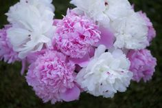 5 Tips for Growing Peonies - Longfield Gardens Backyard Projects, Garden Projects, Garden Ideas, Growing Peonies, Flower Tower, Beautiful Flowers Garden, Amazing Flowers, Peonies Garden, Landscaping Plants