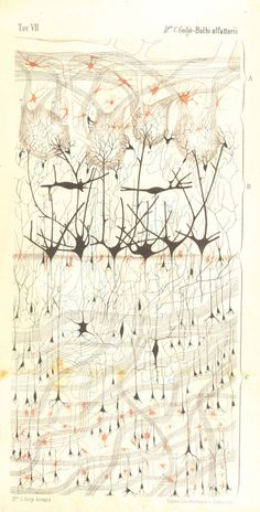 designinbiology:  The First Neuron Drawings (1870s) by Camillo Golgi The Scientist  brought to you by GSS!