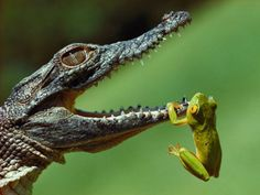 A year-old Nile crocodile attempts to snap up a frog in the St. Lucia Estuary.