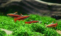 Nannostomus mortenthaleri: coral red pencilfish