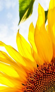Sunflower. always looking at the bright side.