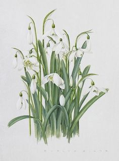 Evelyn Binns, Galanthus nivalis Watercolour On Vellum 210 X 152 Mm. (8 1/4 X 6 In.)