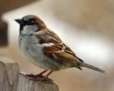 House sparrows are everywhere in my yard.