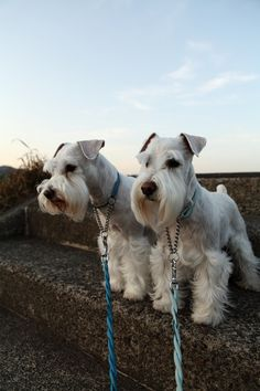 OMG white mini schnauzers so adorable❤️