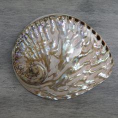 Abalone Shell - Polished Midae Abalone #11 Abalone Shell, Shells, Polish, Texture, Pearls, Gallery, Pattern, Conch Shells, Surface Finish
