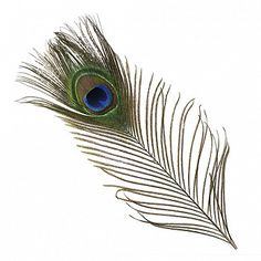 """Peacock Feather Eyes Natural - Natural Product SKU: B452--N Size: 8-15"""" (2 piece pkg) Shop Feathers: www.featherplace.com"""