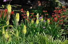 Kniphofia Percy's Pride, Crocosmia Lucifer, late summer flowers