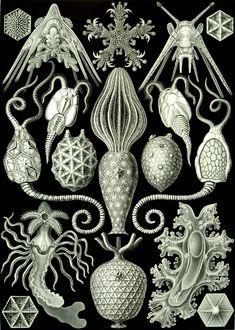 Ernst Haeckel – Art Forms of Nature: Amphoridea