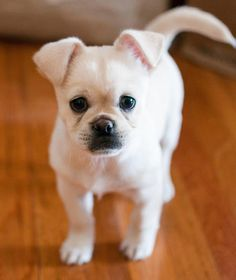 He is so Adorable, this is Charlie the mix breed...Chihuahua/Shih tzu/Pekingese/Australian Shepard! I WANT ONE!!
