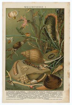 1900 Antique German Scientific Lithograph, Print    Sea, Clams, Mussels, Snails