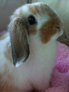 Pretty little Lop bunny:)