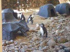Penguins at Hyatt Regency Maui