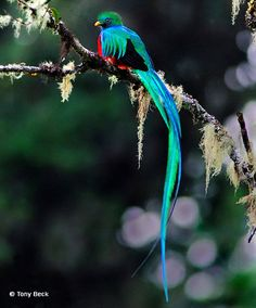 Quetzal In Flight Male replendent quetzal