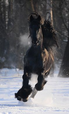 Freisian horse running in the snow kicking up a snowy mist. You can feel the cold and exhilaration!