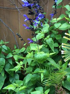 Black And Blue Salvia (salvia guaranitica black and blue): This South American sage is gorgeous, but frost tender, hardy zones 7b to 10.  Grows best in full sun or partial shade.   Attracts butterflies and hummingbirds and is moderately drought hardy.